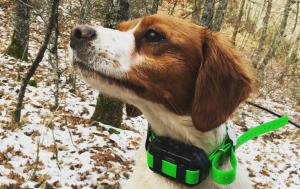 Cachorro epagneul bretón para caza
